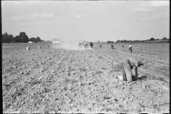 Marion-Post-Wolcott-Harvesting-potatoes-Jefferson-County-Kentucky-1940