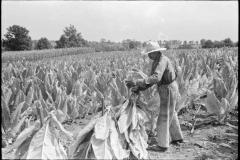 Marion-Post-Wolcott-Tobacco-on-Russell-Spear's-farm-near-Lexington-Kentucky-1940